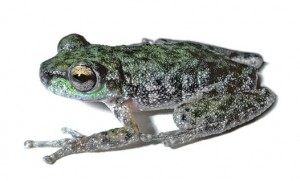 Litoria_piperata_anstis_corrected_big