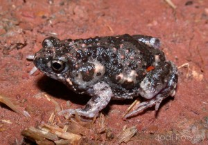 The Wrinkled Toadlet (Uperoleia rugosa). It's not a toad at all.