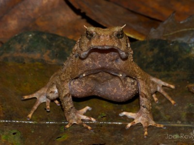 Mountain Toad. (Ophryophryne synoria) Not a true toad.