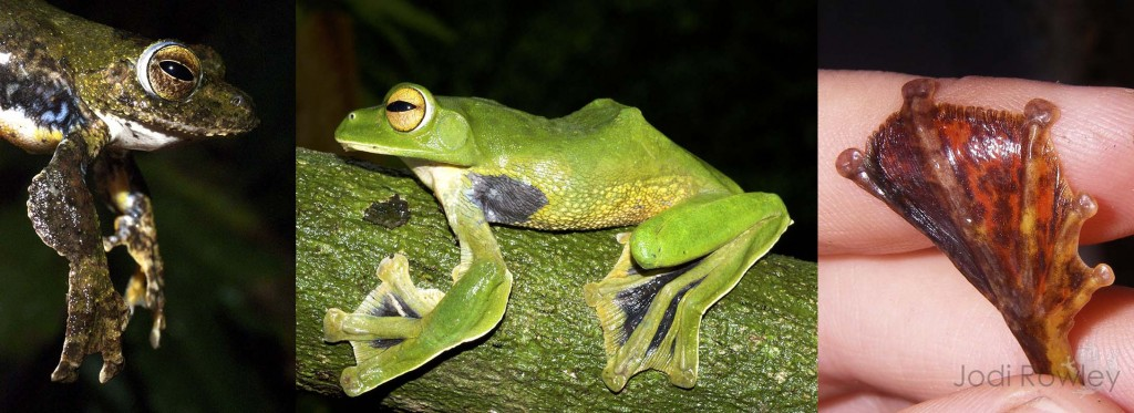 Flying frogs (L-R): Large arm flaps in the Spinybottom Flying Frog (Rhachophorus exechopygus); an extreme flier, Helen's Flying Frog (Rhacophorus helenae); and the fully webbed foot of the Annam Flying Frog (Rhacophorus annamensis).