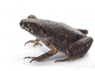 Appleby's Asian Leaf-litter Toad (Leptolalax applebyi)