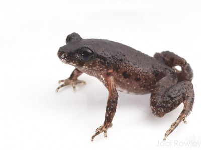 Bidoup Asian Leaf-litter Frog (Leptolalax bidoupensis)