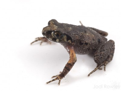 The Musical Asian Leaf-litter Toad (Leptolalax melicus).