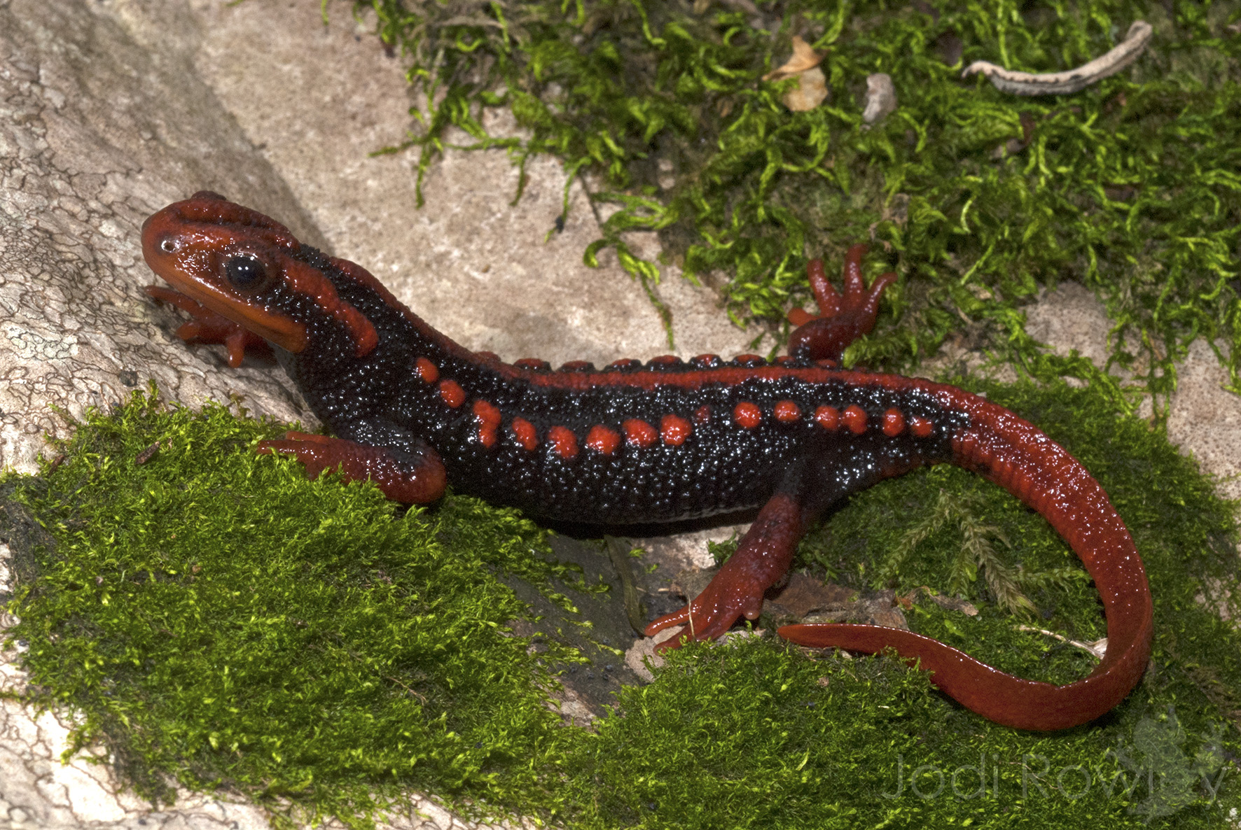 Conserving Asian newts could save the world's salamanders
